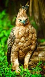 Indonésie Aigle de Java