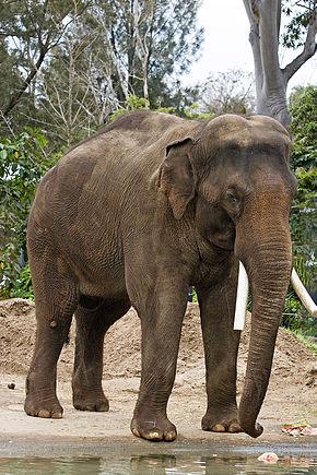Thaïlande Elephant d'Asie