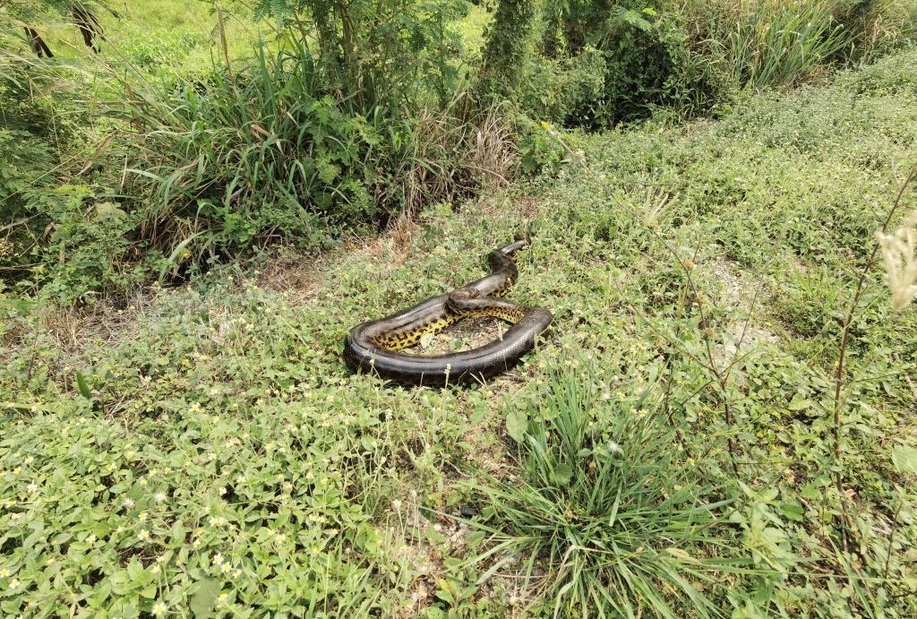 anaconda blessé mis sur le bas-côté par papa
